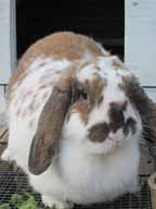 Sugar the Holland Lop